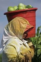 A person carrying a bucket of tomatoes in a field.